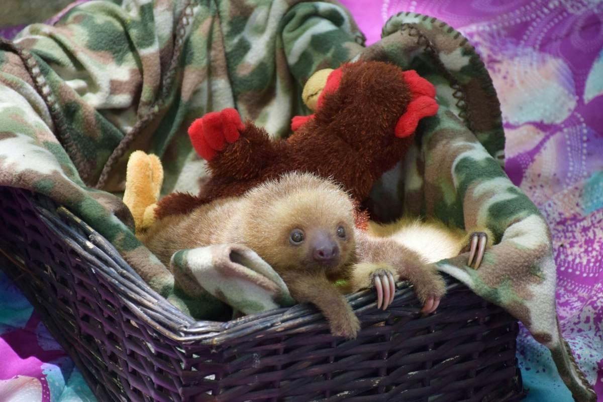 Sloth in Puerto Viejo wildlife reserve