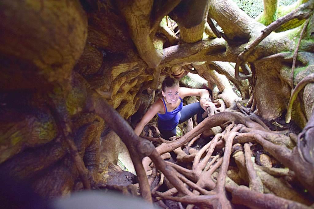 climbing the ficus tree Monteverde Costa Rica