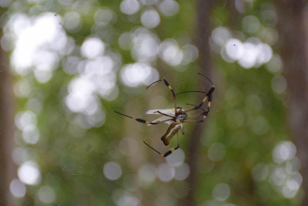 spiders in cahuita national park