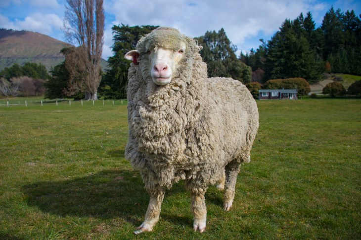 one of the sheep on the mt nicholas farm tour