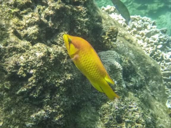 Tropical fish, Koh Tao