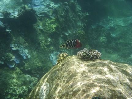Tropical fish, Koh Tao snorkeling