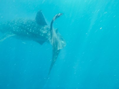 Whale shark swimming away