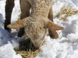 Spring lambs at Allen's Heirloom Homestead