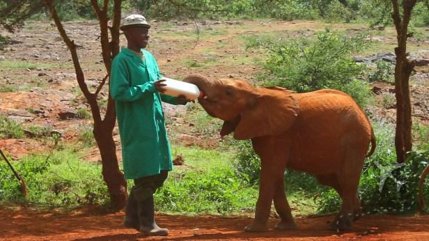Baby elephant being bottle fed at elephant orphanage in Nairobi, Kenya