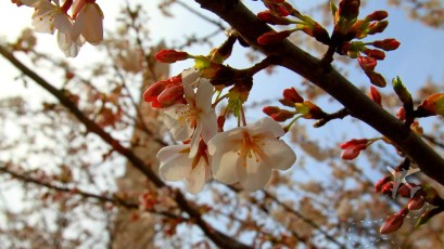 Cherry Blossom's in bloom