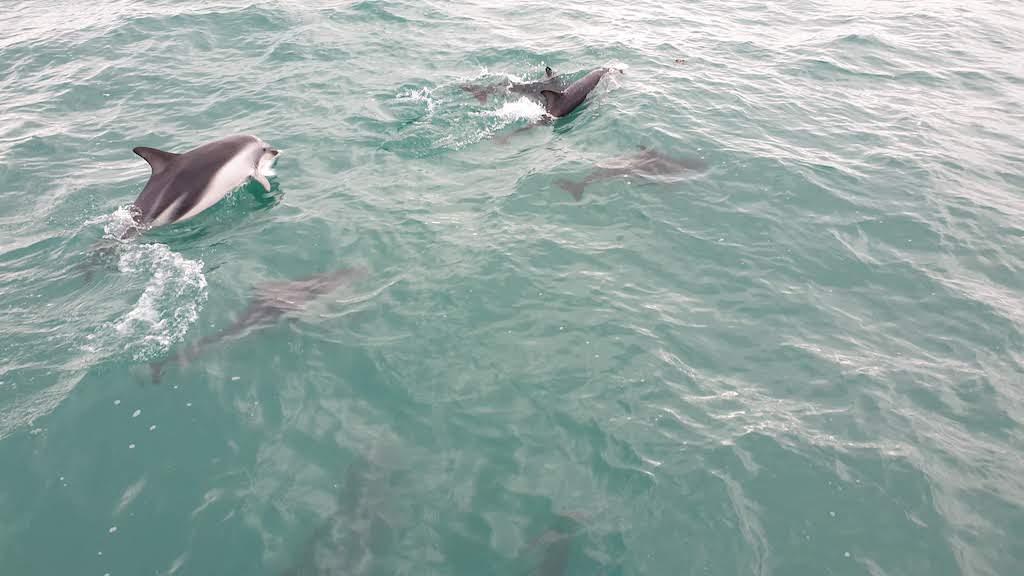 dauphins Kaikoura. La première fois de notre vie que nous voyons des baleines fût ici en nouvelle-zélande