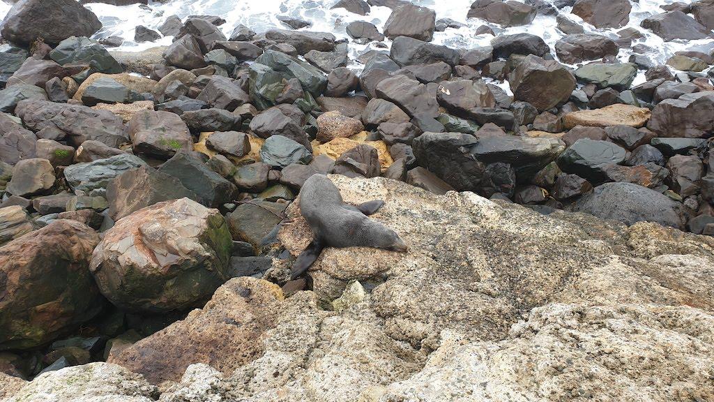 Phoque à la Oamaru Blue Penguin Colony