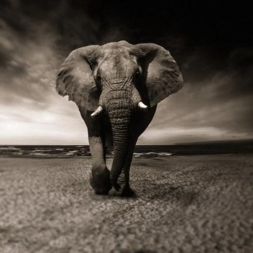 African Elephant - Uganda Travel blog