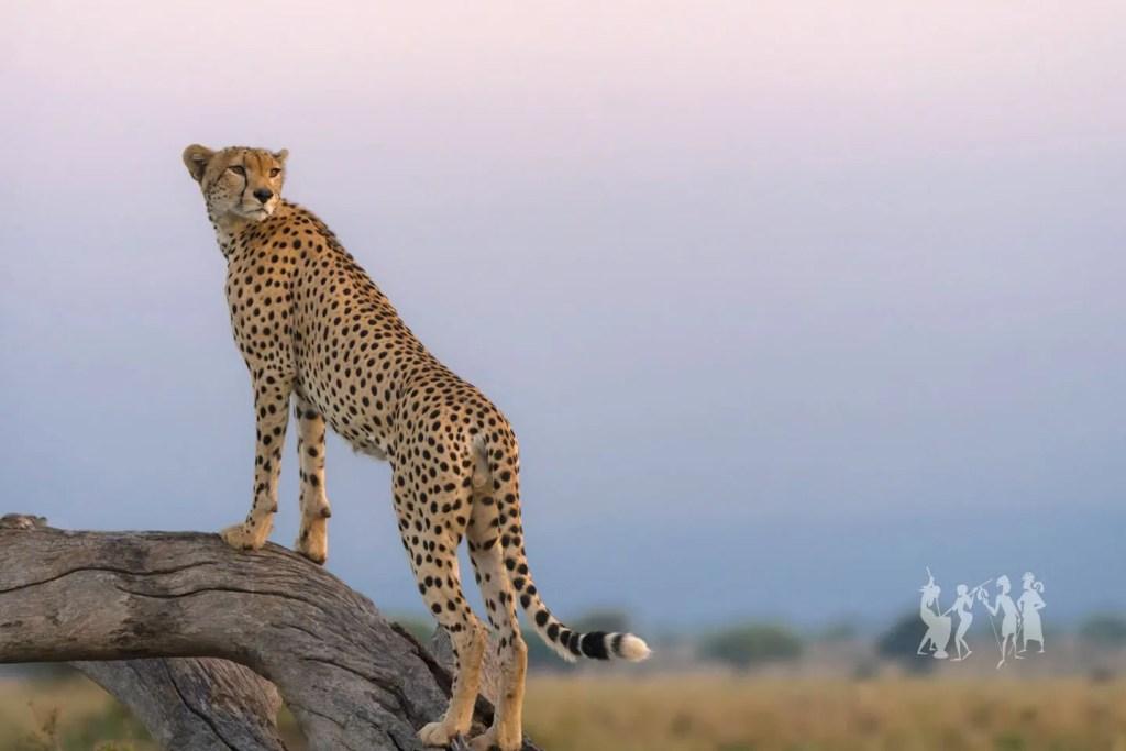 Kidepo National Park Wildlife and game drives 0- Cheetah