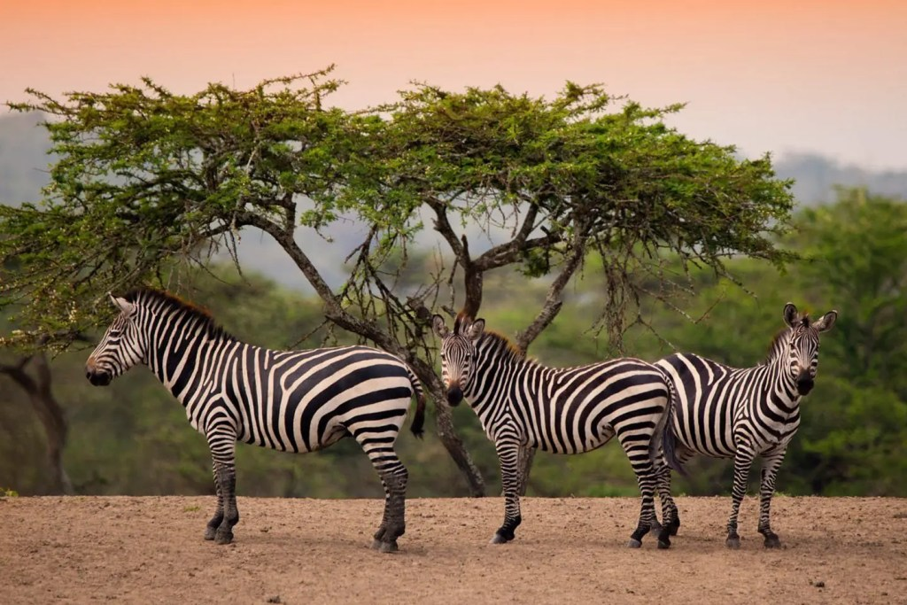 Lake Mburo National Park Zebra,  one of the two top destinations in uganda to see Zebra