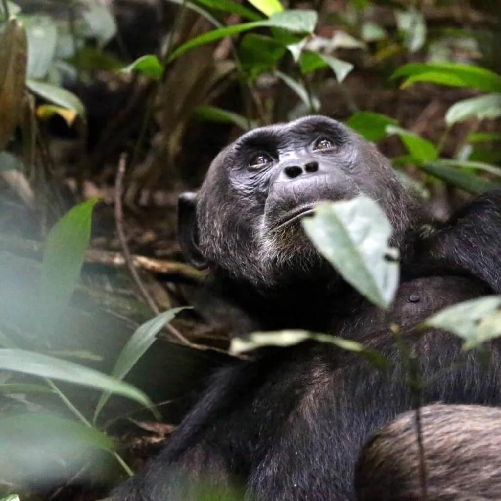Chimpanzee Relaxing