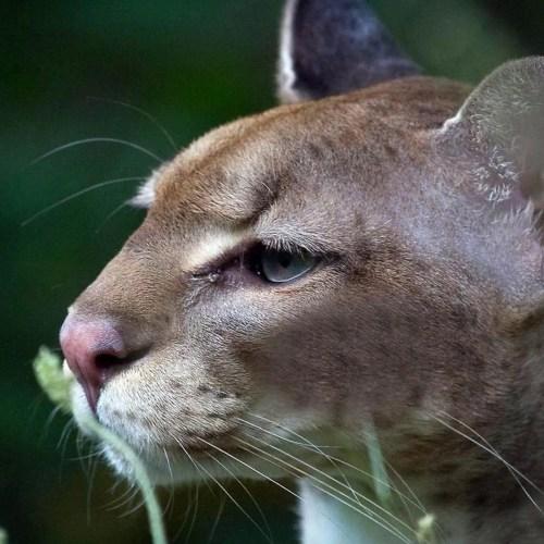 African Golden Cat uganda