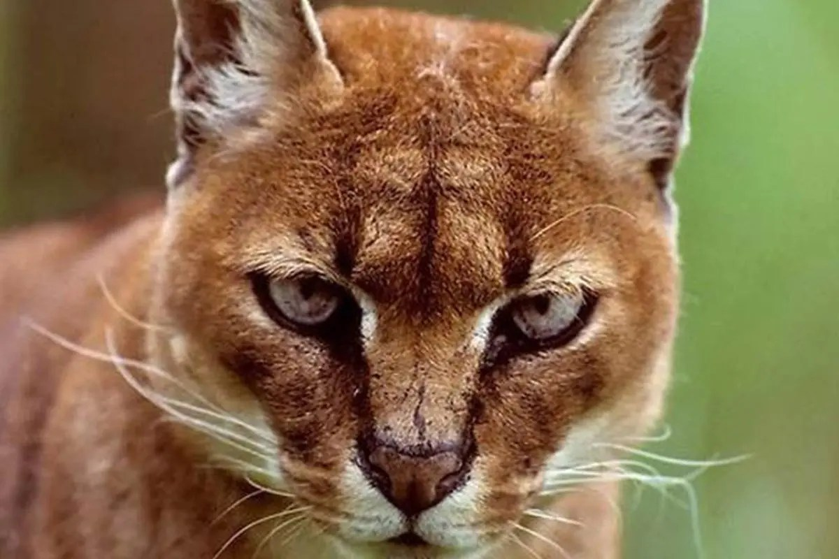 African Golden Cat uganda