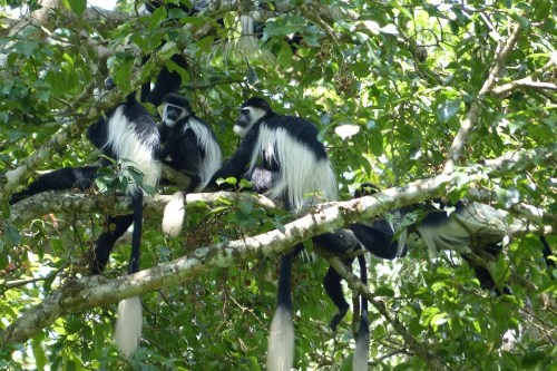 Black-and-white Colobus Monkey Uganda