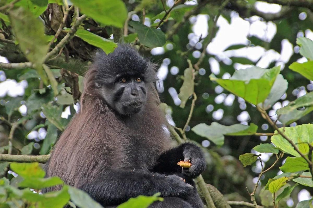 Grey-cheeked Mangabey Uganda