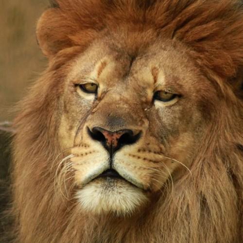 African lions in uganda