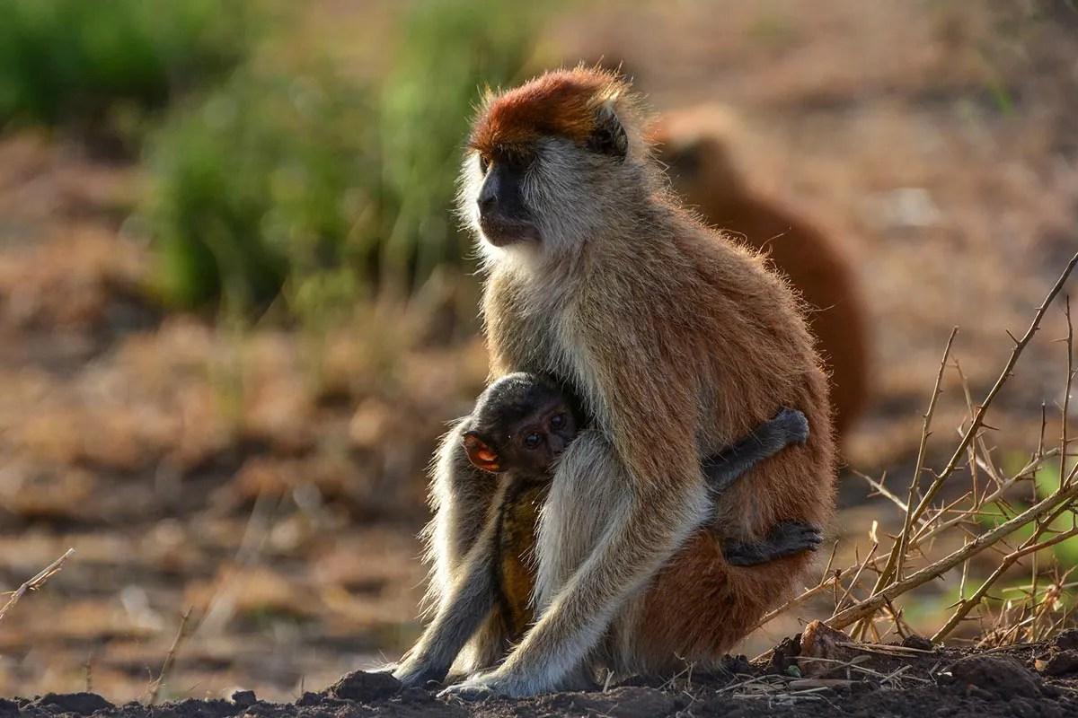 Patas Monkey