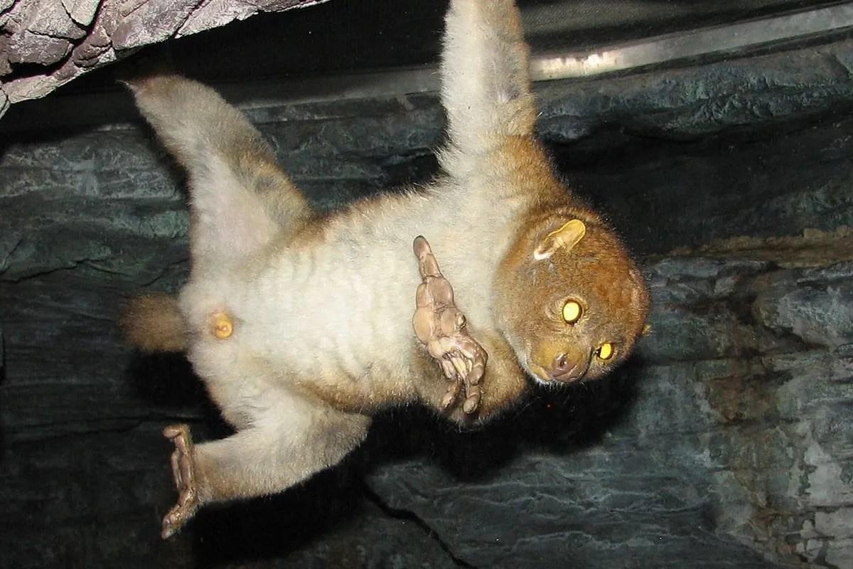 potto nocturnal primate uganda
