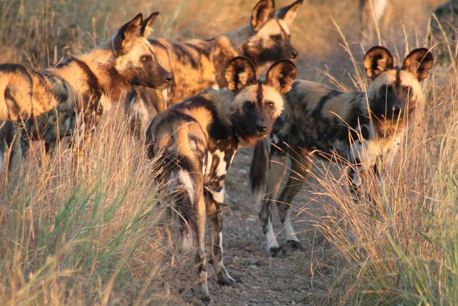 African hunting dog (Lycaon pictus)