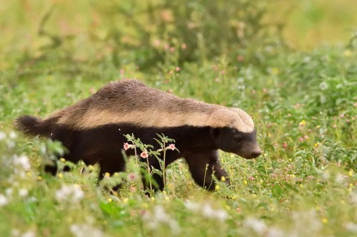Mellivora capensis honey badger in Uganda