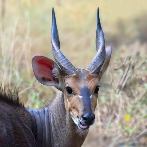 Bushbuck tragelaphus scriptus in Uganda