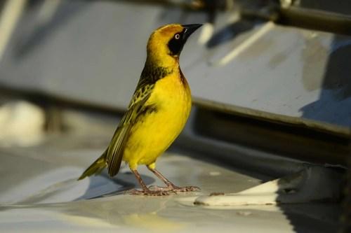 Fox's weaver - Birds of Uganda