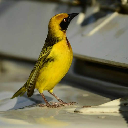 Fox's weaver - Birds of Uganda