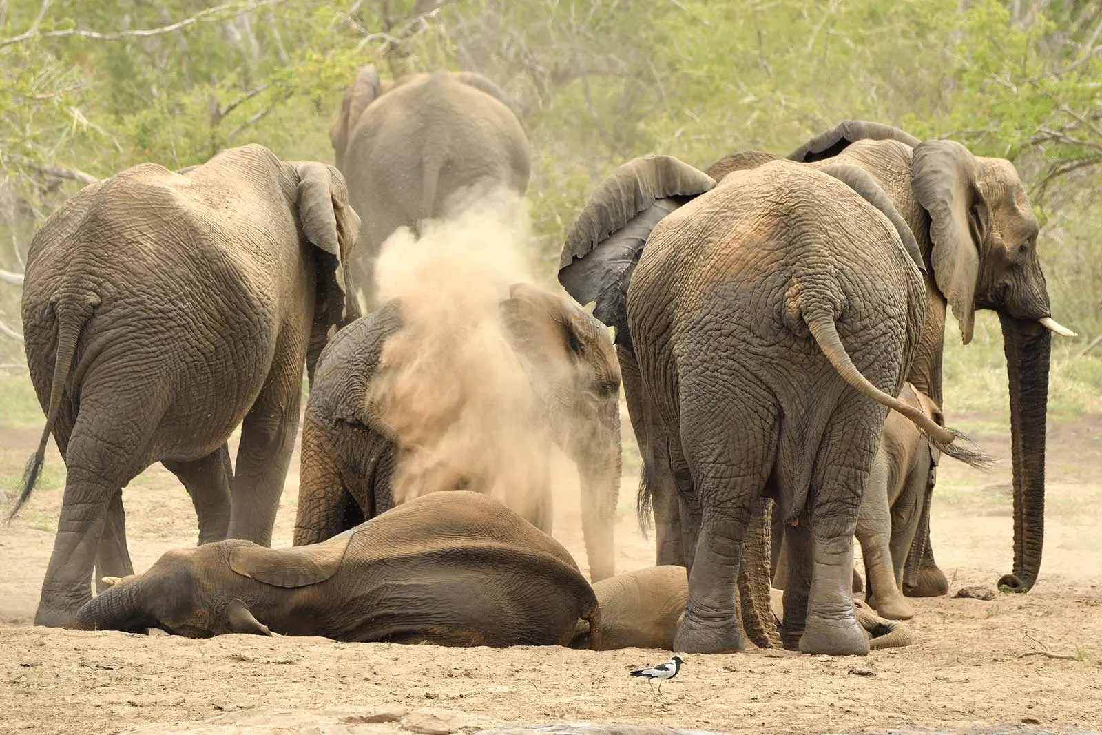 Africna Elephants Murhison uganda