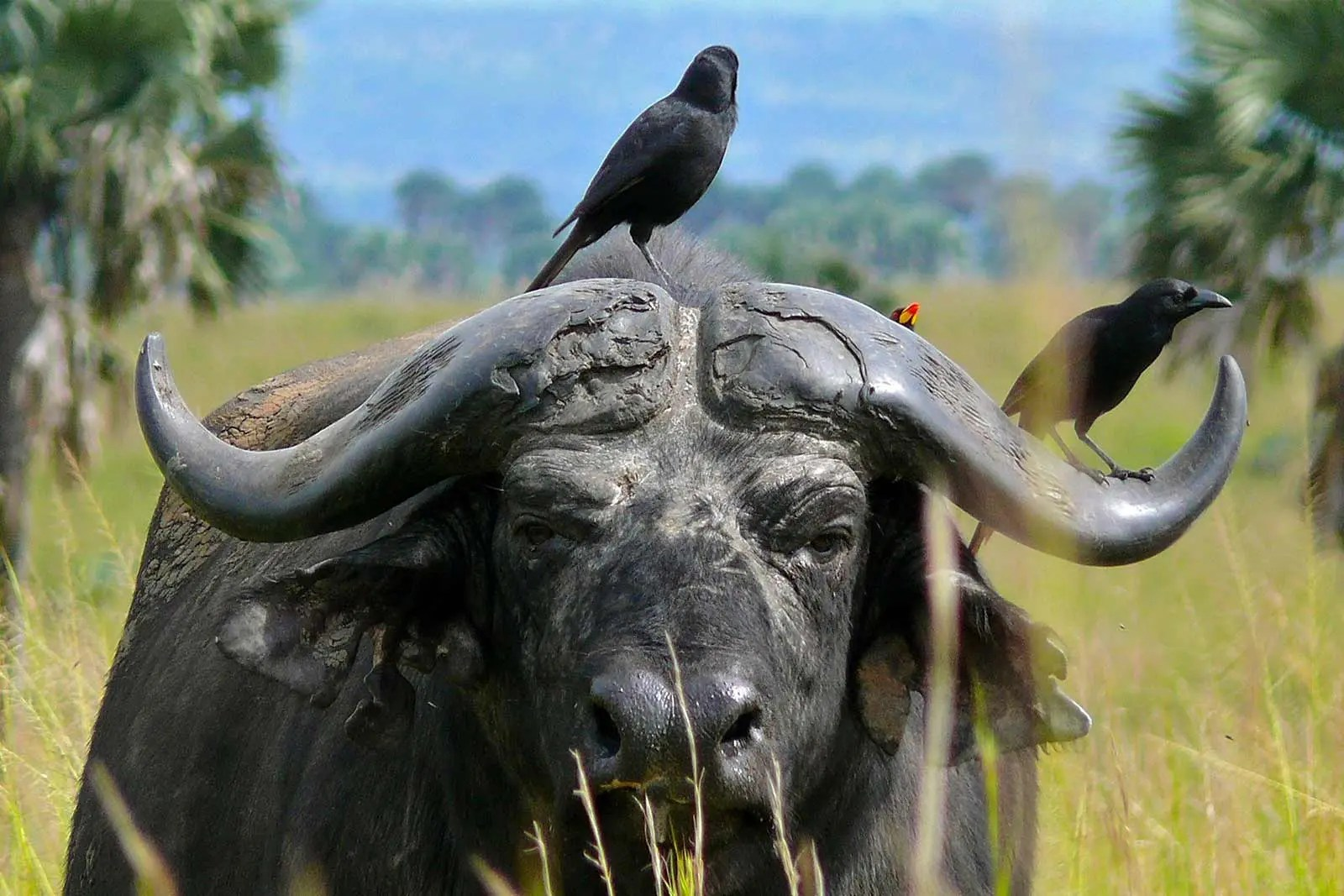 African Buffalo africa big 5 animals