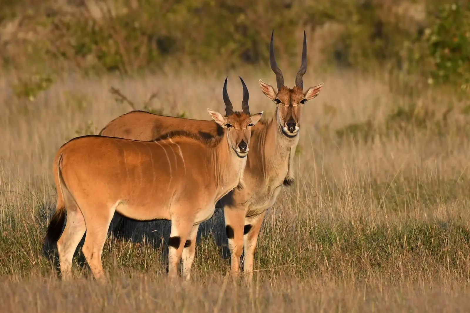 Common eland (Taurotragus oryx) in uganda