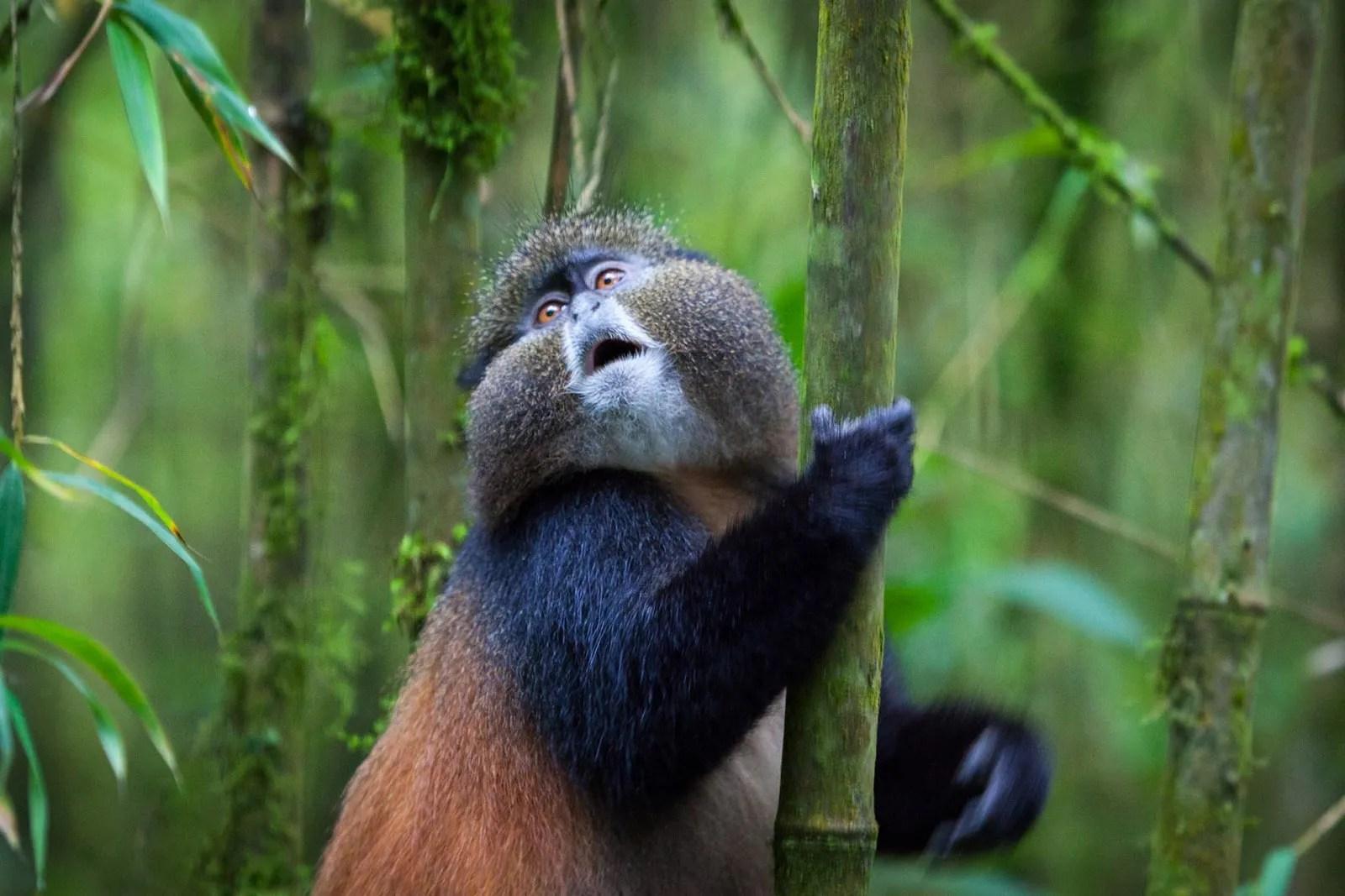 golden monkeys in Uganda
