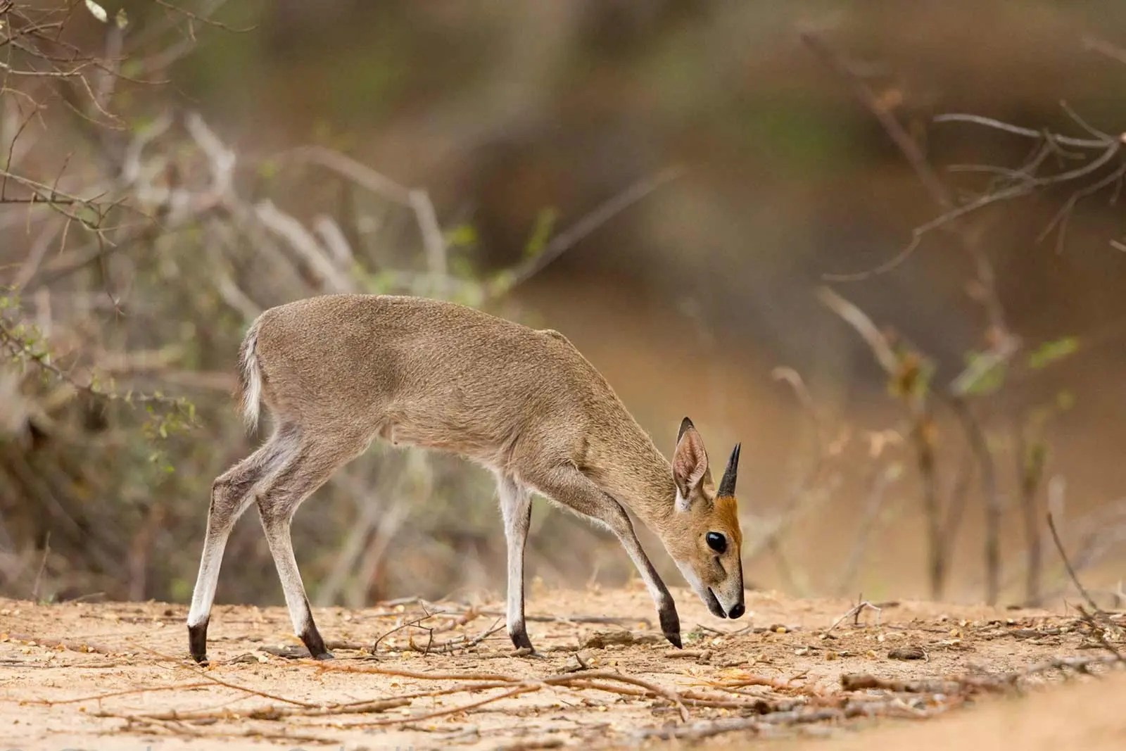 Grey duiker or common duiker Sylvicapra grimmia