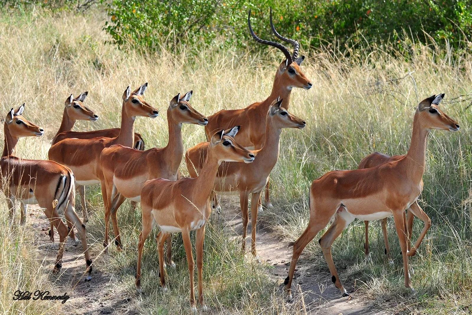 Impala (Aepyceros melampus) in Lake Mburo Uganda