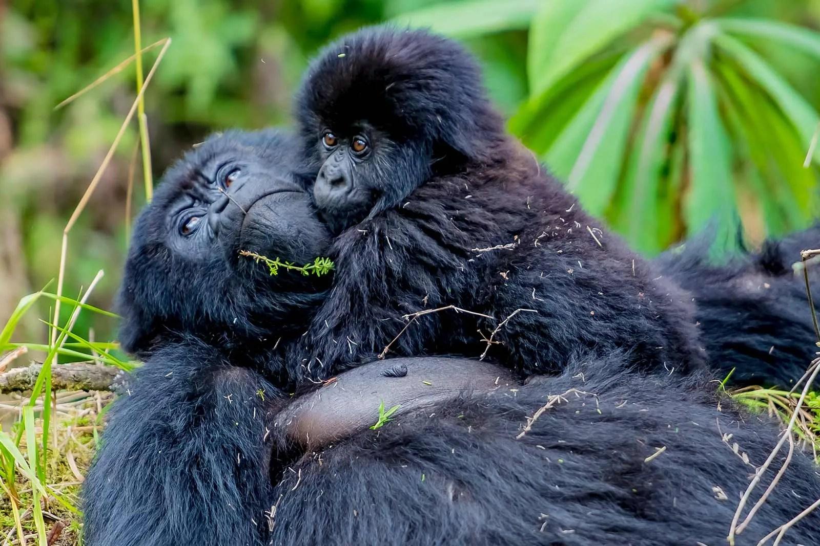 Mountain gorilla reproduction