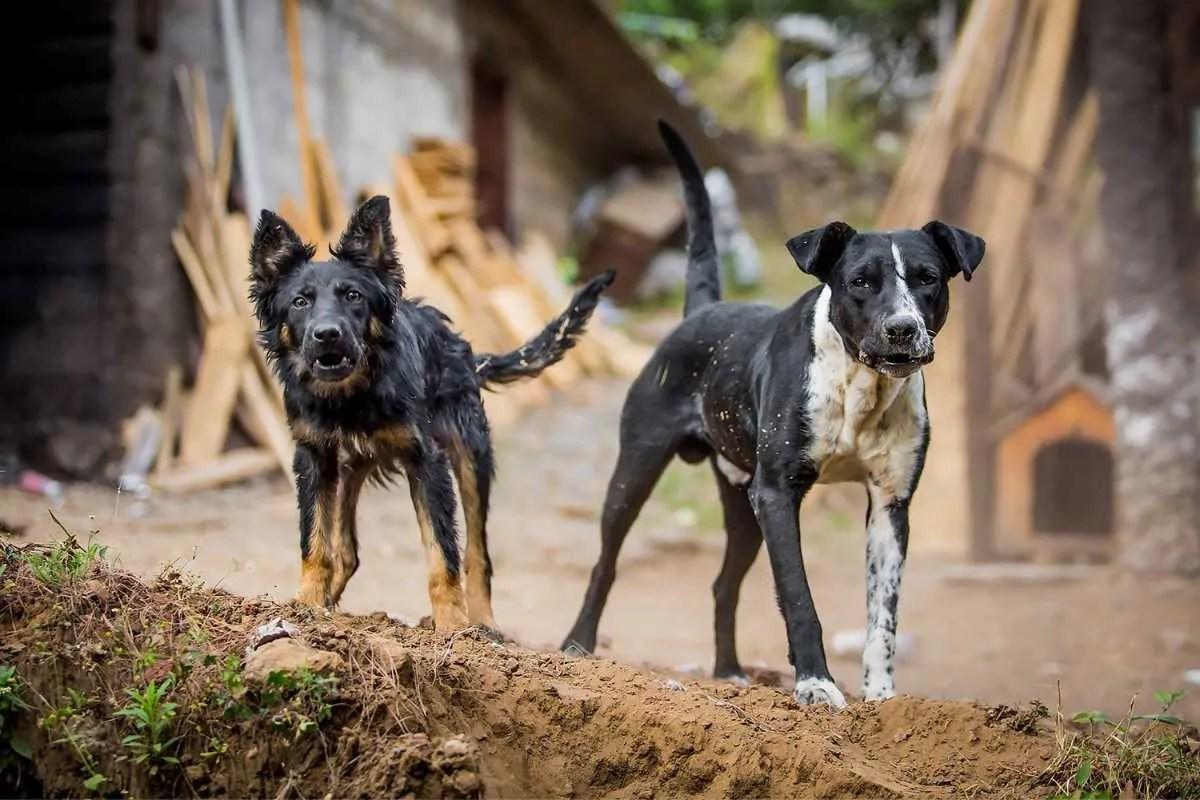 To avoid catching rabies, avoid stray dogs when walking around Uganda