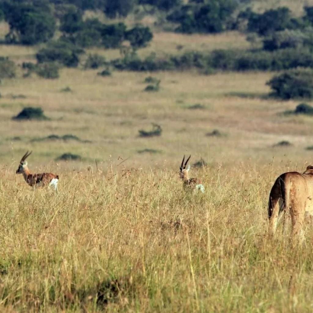 Morning live hunt on the savanna plains