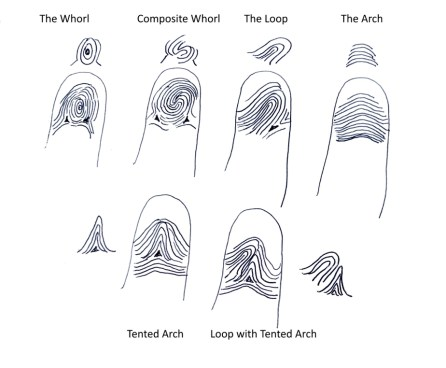 fingerprint meanings, whorl print, loop fingerprint,