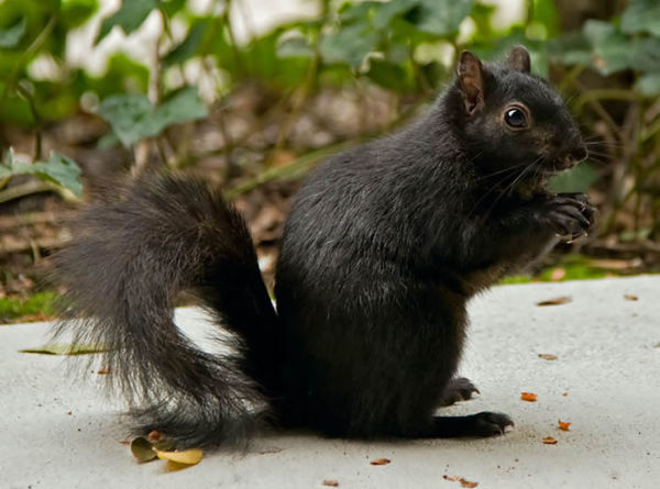 6-squirrel-Online-Photo-Books-21-Melanistic-All-Black-Animals