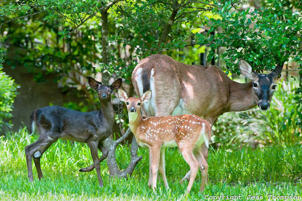 Whitetail Doe with two fawns, one black colored Melanistic, Austin, TX
