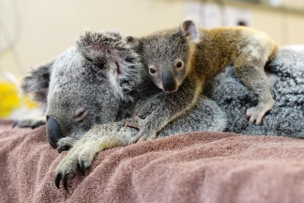 koala2_0