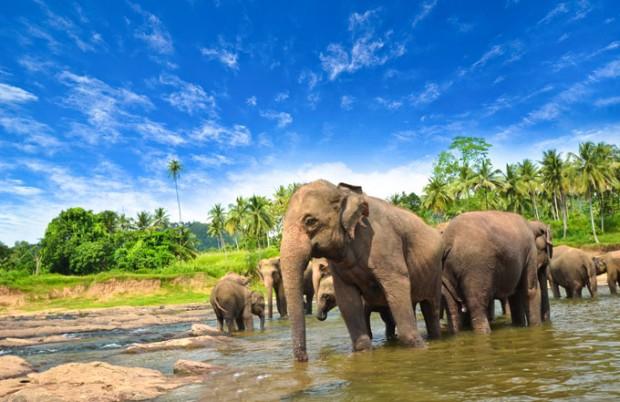 sri-lanka-elephants