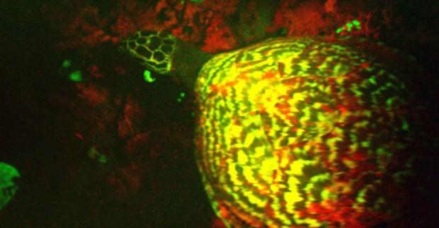 bioflourescent-turtle