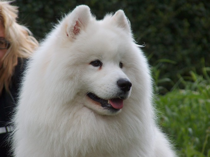 Razas de perros: Samoyedo: Una raza noble y amistosa que no es un riesgo para la familia