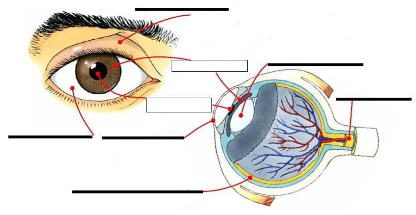 La vue et le fonctionnement de l'oeil