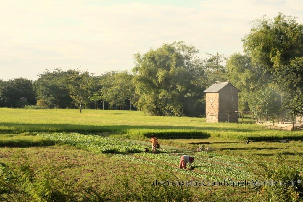 Visiter Kampong Cham - Rizière à Koh Pen