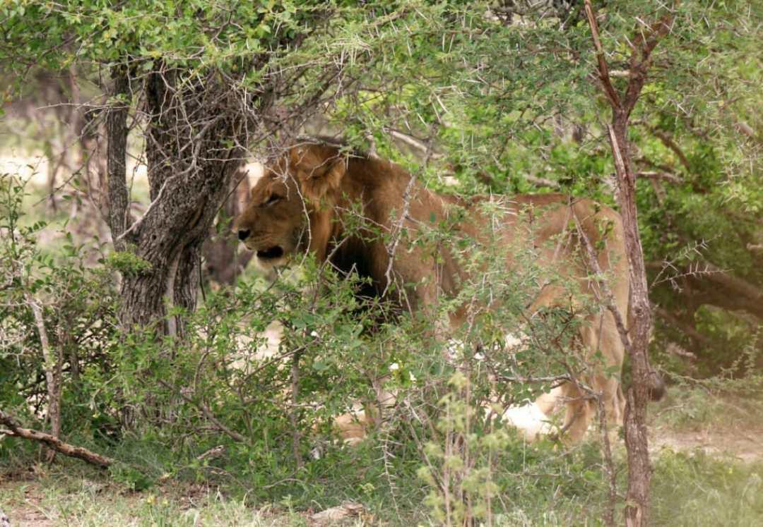 Lion - Safari pas cher en Afrique du Sud