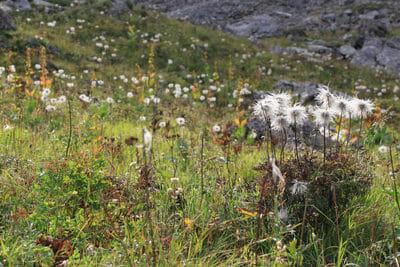 Tour des Dents Blanches - Fleurs vers le Lac des Chambres
