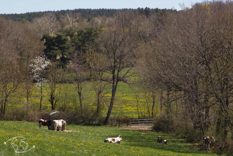 Visite de ferme en Lozère - Le champ des vaches - Ferme Ressouche