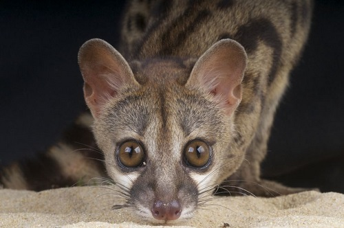 Spotted Genet